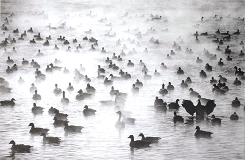 Picture of Geese in Fog