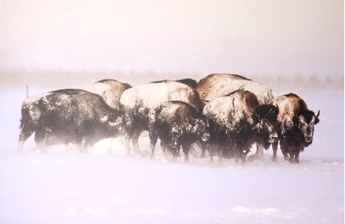 Picture of Bison in Snow Storm