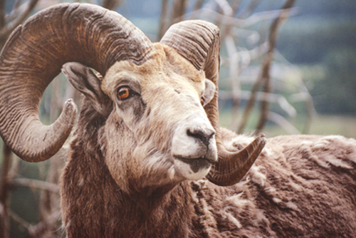 Picture of Mountain Sheep